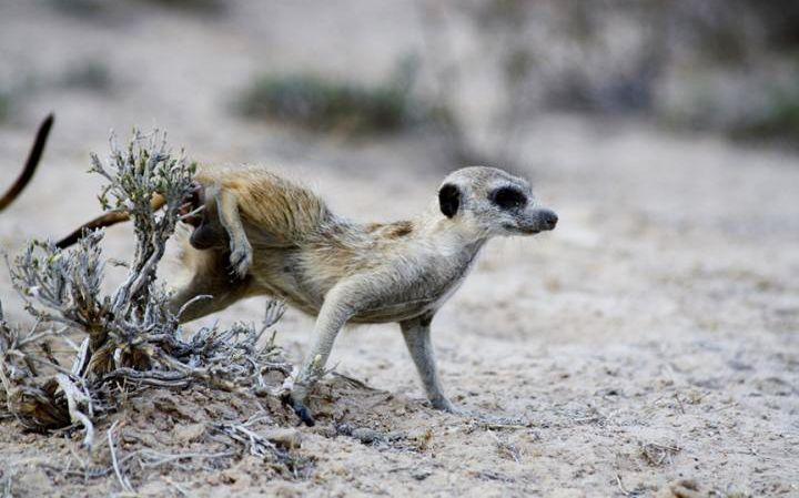 meerkat scent sniffing