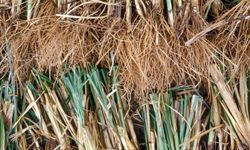 Vetiver is a grass native to India.