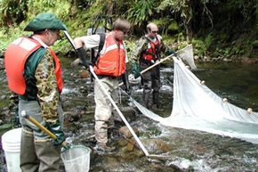 USGS scientists electrofish on Lookout Creek near the Blue River in Oregon. The fish they collect are analyzed for mercury content.