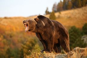 Many people may think grizzly bears are vicious, but they've gotten a bad rap.