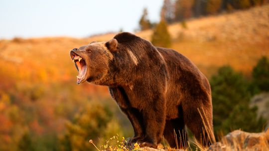 Is the Mexican grizzly bear extinct?