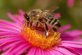 Honeybee populations have declined dramatically in some countries but are GMOs to blame?