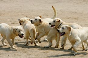 Cloned puppies play at a training center for the Korean Customs Service. The seven dogs, known as Toppy, will work as sniffers.