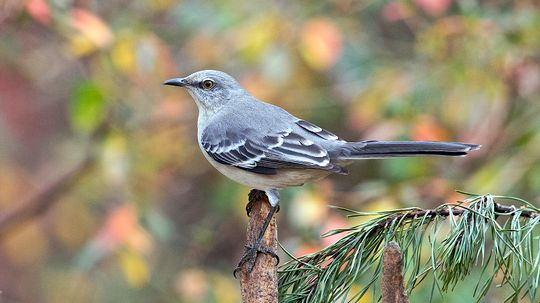 Why Mockingbirds Mock