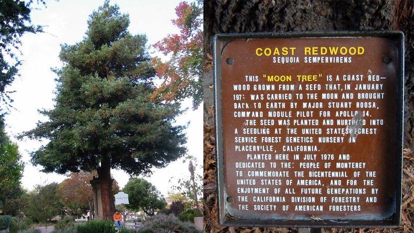 coast redwood moon tree