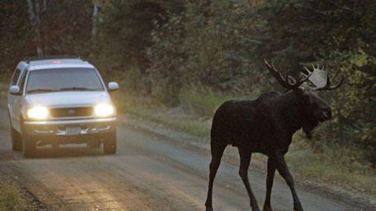 Do moose really walk the streets of Alaskan cities?