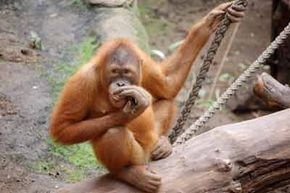 Apes resemble humans more closely than monkeys.