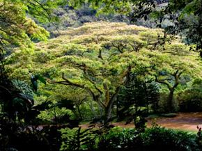 The monkeypod tree has a variety of names in the many different regions where it grows. See more tree pictures.