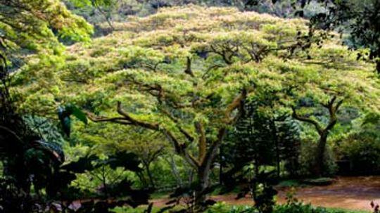 How Monkeypod Trees Work