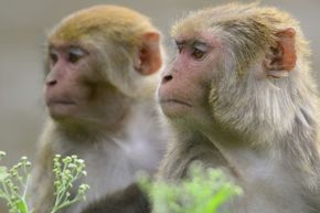 The monkey on the right is definitely bluffing, don't you think?