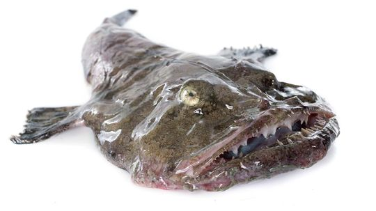 Monkfish May Be Ugly, But They Sure Taste Delicious