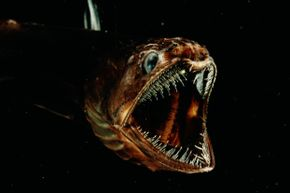 You'll be seeing Pseudoscopelus again – in your nightmares.