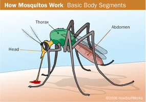The parts of a mosquito