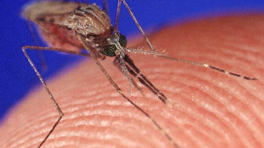 How Mosquitoes Work