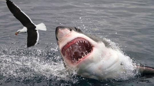 The 10 Most Dangerous Sharks
