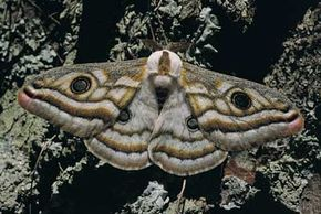 Moths are positively phototactic, meaning they automatically move toward light. See more insect pictures.