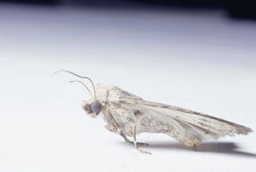 Moth balls keep these little guys from chewing up your favorite sweater.