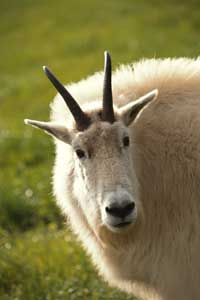 Mountain goats have the signature horns of the rupicaprid animal tribe.