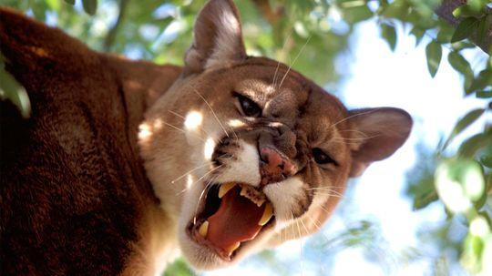 6 Wild Cats Still Found Roaming the U.S.