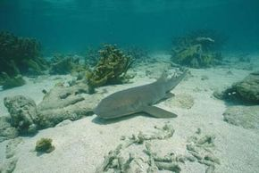 The nurse shark doing what it does best -- resting. See more pictures of sharks.