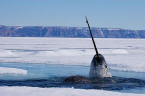 Arctic Animals Image Gallery A narwhal surfaces for breath in the Canadian Arctic. See more pictures of arctic animals.