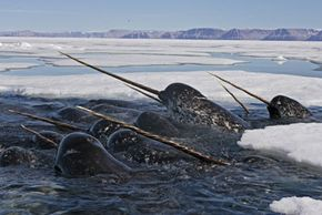 Whales of a tusk swim together.