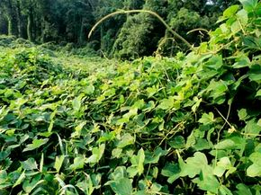Kudzu, a non-native invasive plant, was introduced to the United States from Asia in the 1800s to provide erosion control.