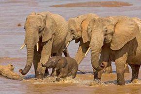 African elephants (Loxodonta africana) crossing river, Samburu Isiolo Wildlife Preserve, Kenya