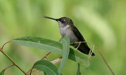 That photo you took of a backyard ruby-throated hummingbird could spur involvement in hummingbird conservation.