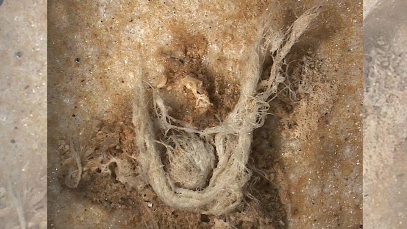 Neanderthal cord