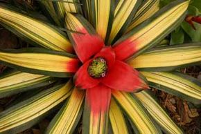 Neoregelia bromeliads retain their bright color year-round. See more pictures of bromeliads.