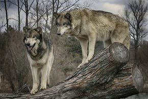 Despite their pack behavior, wolves prefer to be left alone by humans and can be easily frightened off if you do it correctly.