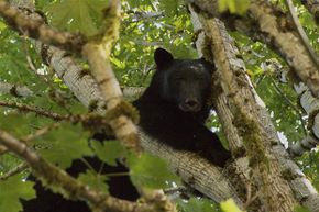 Black bears tend to climb trees rather than attack humans. Grizzlies, on the other hand, are more aggressive.