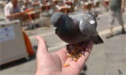 Pigeons have proven themselves immensely helpful.