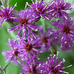 Baldwin's ironweed, or Vernonia baldwinii, will attract beneficial insects to your garden.