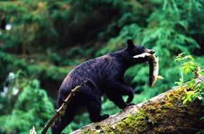 Don't camp out by a salmon stream because these are feeding grounds for bears in Alaska.