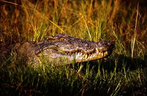A crocodile lurks amid the rushes along the Nile at Murchison Falls in Uganda.