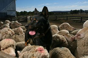 This kelpie loves herding sheep. But Ruby didn't. She found her true calling as a vet nurse.