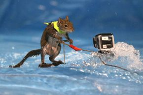 Twiggy the waterskiing squirrel always wears a little vest to promote water safety.