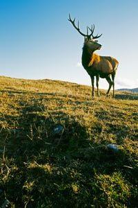 Buck standing on grassy hillside.