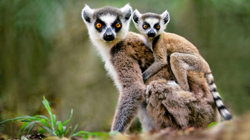 Ring-tailed lemurs  perhaps the most iconic species on the tropical island of Madagascar  are declining significantly in numbers due to habitat loss, hunting and illegal capture. Frans Lanting/Getty Images