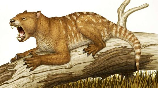Extinct Marsupial Lions Killed Prey in a Really Weird Way