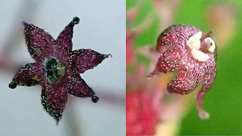 The flower of the Sciaphila yakushimensis (left) and that of its close relative Sciaphila nana. Associate professor Suetsugu Kenji