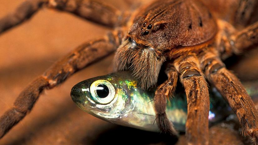 A fishing spider (Ancylometes bogotensis) in French Guyana catches prey. Ingo Arndt/Nature Picture Library/Getty Images