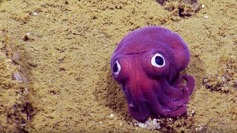 Googly-eyed Stubby Squid | Nautilus Live EVNautilus/YouTube