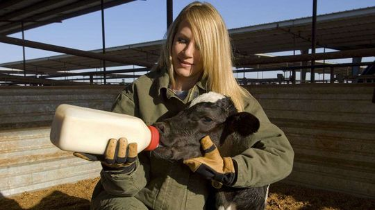 Study: Cows Grow Bigger, Give More Milk After Early Positive Human Interaction