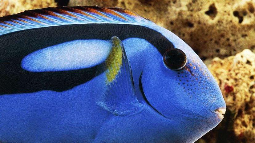 A blue regal tang (Paracanthurus hepatus) DeAgostini/Getty Images