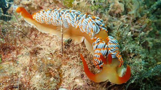 This Gorgeous New Sea Slug Species Needs a Name