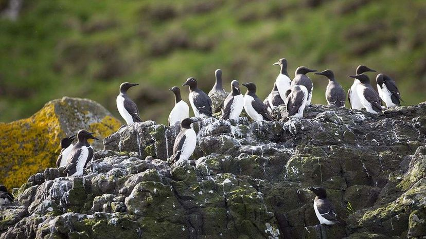 A population of common murres photographed in Scotland; similar birds live off the California coast. Tim Graham/Getty Images