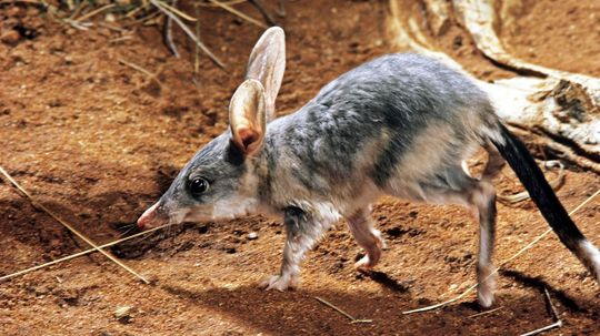 Bandicoots Survived Eons of Changing Climates, But This Time It's Different